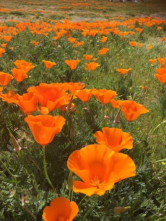 Lancaster, Kalifornien: Antelope Valley California Poppy Reserve