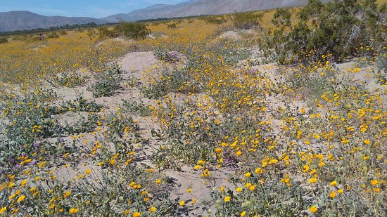 Flower fields picture of anza borrego desert state park borrego anza borrego desert state park flower fields mightylinksfo