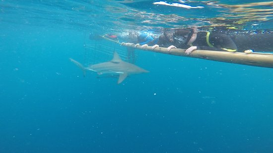 Blue Wilderness Shark Adventures: One of many sharks that day - all Oceanic black tipped sharks
