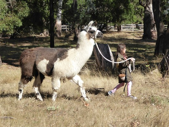 Woodend, Australien: It's fun to lead a llama