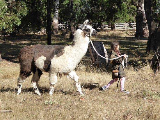 Woodend, Australia: It's fun to lead a llama