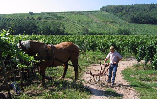 Dambach-la-Ville, ฝรั่งเศส: Travail du sol