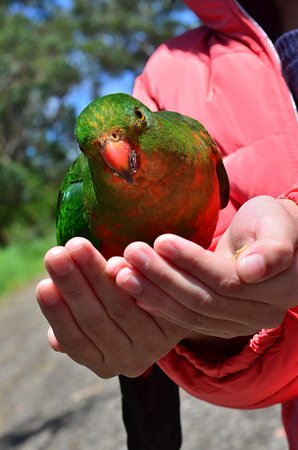 Kennet River: Lorikeets will fly to you for birdseed
