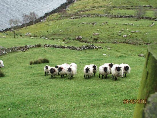 Leenane, Irlanda: les moutons de Tom