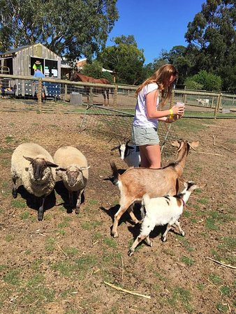 Balnarring, Austrália: feeding some goats with the pet food provided by the farm. Animals are happy in their large padd