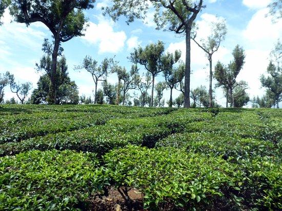 Windermere Estate: Eucalyptus trees and tea plants.