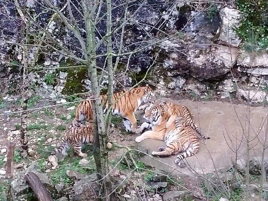 La Citadelle de Besançon : Le mâle couché, la mère debout, deux des 3 tigrous.
