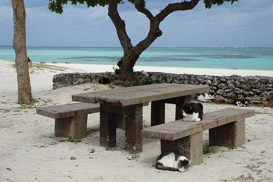 Kondoi Beach: 石垣ブルーの海をバックにコンドイビーチの島ネコさん。見えるだけで10数匹いました。