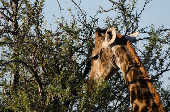 Ceres, South Africa: Giraffe