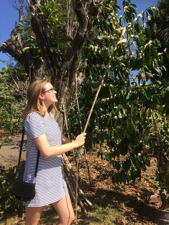 Captain Cook, Hawái: coffee picking