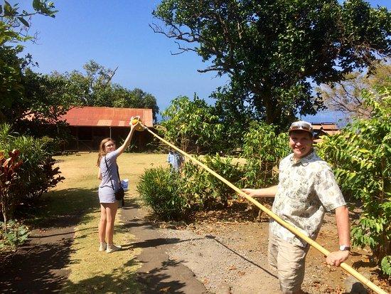 Captain Cook, Hawái: orange picking