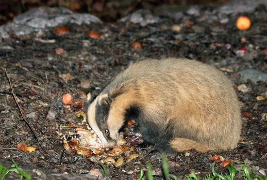 Rydal, UK: Young badger feeding