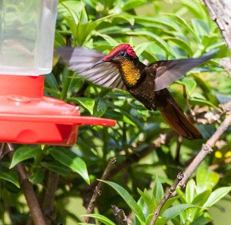 Moriah, โตเบโก: Ruby Topaz Hummingbird