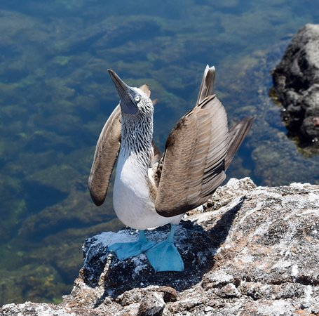 Isabela, Ecuador: The Tunnels - Blue-footed boobies during matting ritual