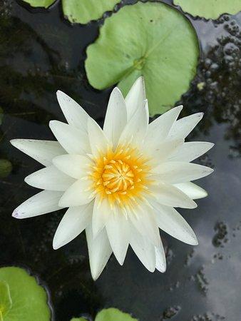 Chalong, Tailandia: Лотос расцвел в запущенном фонтане :)