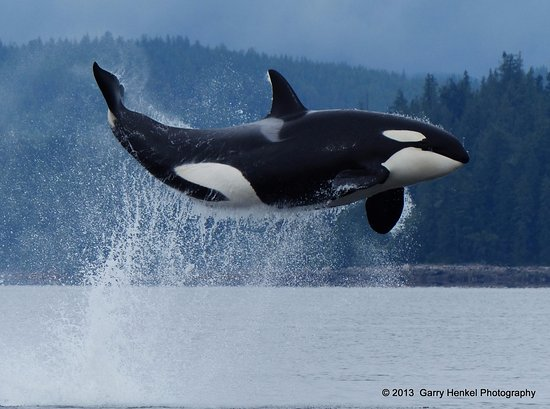 Aboriginal Journeys Wildlife and Adventure Tours : A flying Orca near Marina Island in British Columbia, Canada.