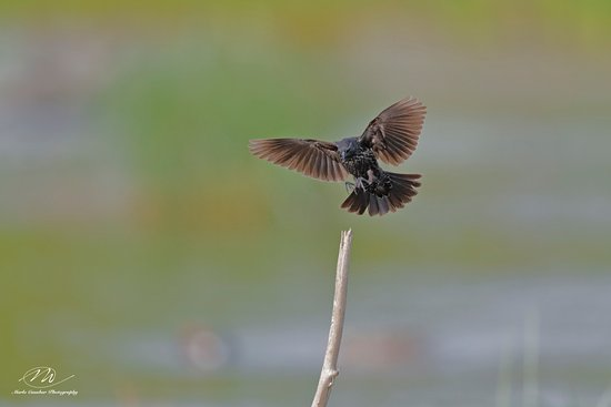 Weslaco, TX: Starling landing on a perch