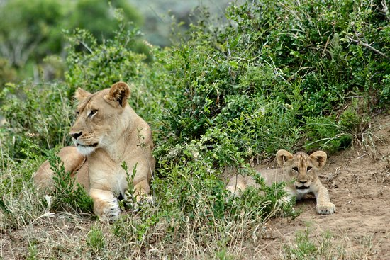 Phinda Private Game Reserve, South Africa: A lioness and her cub leave their thicket hiding place
