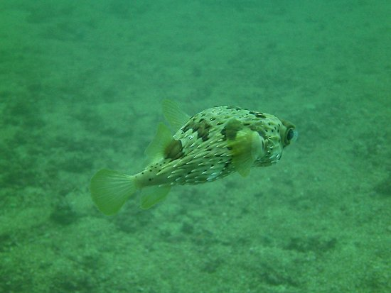Huatulco Dive Center : Puffer fish just happen to be my favorite- and there were huge schools of them I got to swim thr
