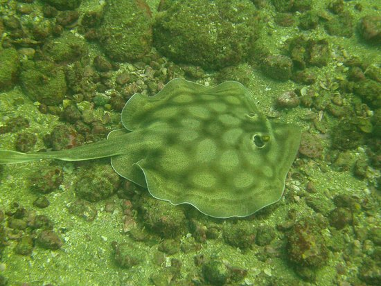 Huatulco Dive Center : Many different rays around too. Several spotted eagle rays swam by on our dives.