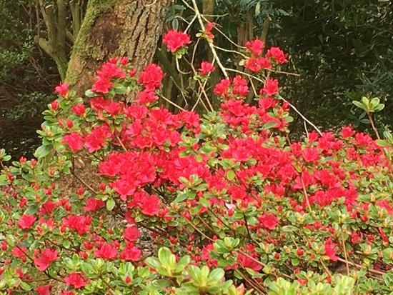 Lanhydrock House and Garden : Azalea