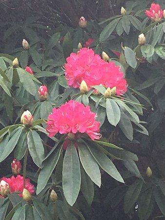 Lanhydrock House and Garden : Rhododendron