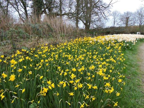 St Austell, UK: daffodils