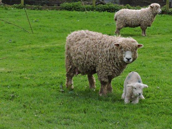 St Austell, UK: spring lambs