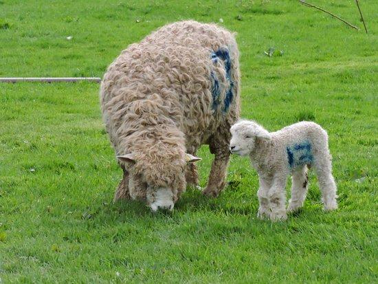 St Austell, UK: lambs