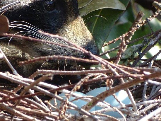 Wakodahatchee Wetlands: Thief sneaks in