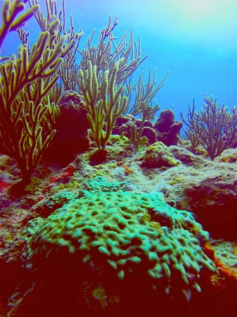 Simpson Bay, St-Martin/St Maarten : Beautiful coral in the Marine Park.The St. Maarten Marine Park surrounds the entire Dutch side f