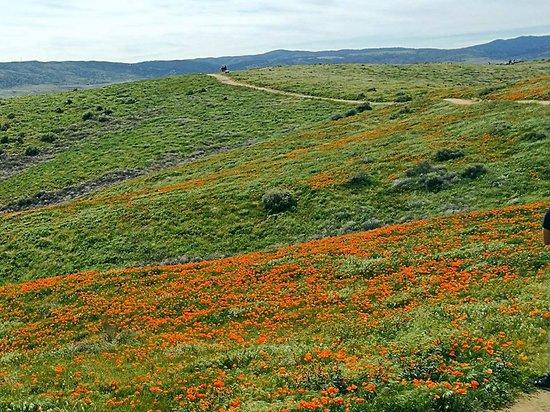 Antelope Valley California Poppy Reserve: Vallata popolata dai fiori di papavero