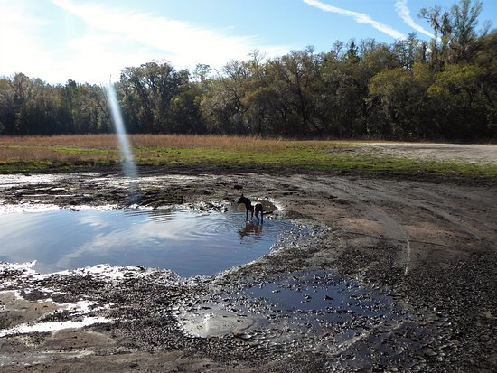 Inverness, FL: Buc found a mud puddle
