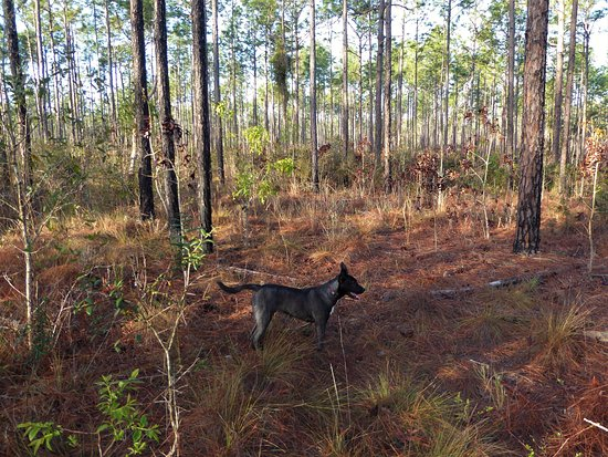 Inverness, FL: Buc scouting the forest