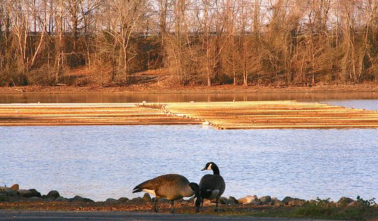 Camden, TN: Some Canadian geese by the water and the Pearl Farm in the background