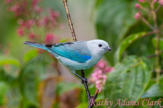 La Virgen, Costa Rica: blue-gray tanager at Dave & Dave's Costa Rica Nature Pavilion Park