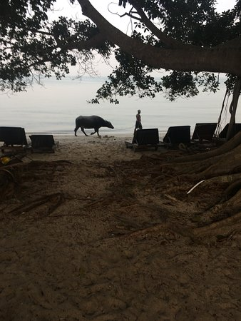 Lipa Noi, Ταϊλάνδη: This was just funny. A man walking his pet bull as one does.