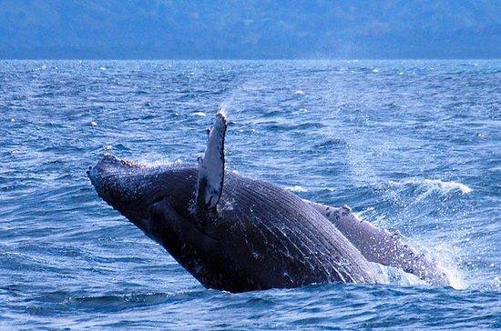 Observação de baleias Samana de Punta...