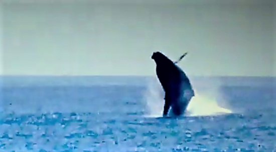 Star of Honolulu - Dinner and Whale Watch Cruises: Whale Breach!
