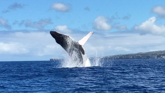 Ka'anapali, Hawái: A different whale that breached about 50 yards from our boat