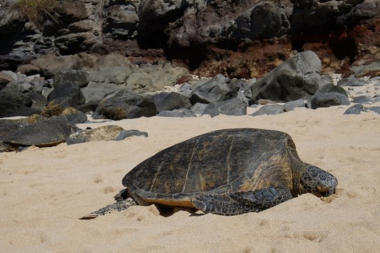 Paia, ฮาวาย: Turtles on the beach
