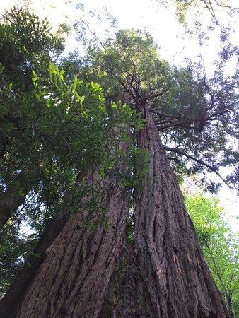 Mill Valley, CA: Flera tusen år gamla...