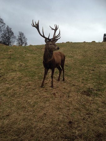 Rothiemurchus: Magnificent stag