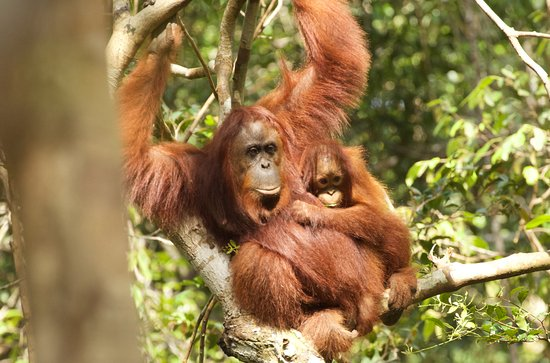 Pangkalan Bun, Indonesia: Orang-utan baby and mother