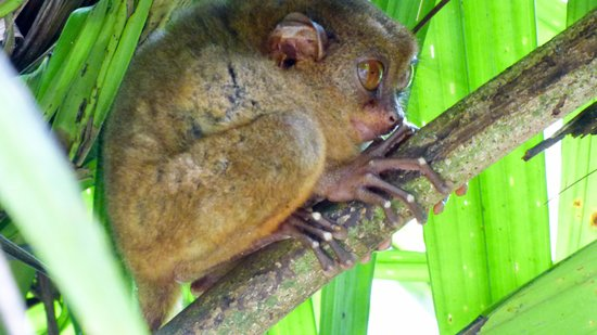 Loboc, Filippinene: Il piccolo Tarsio...