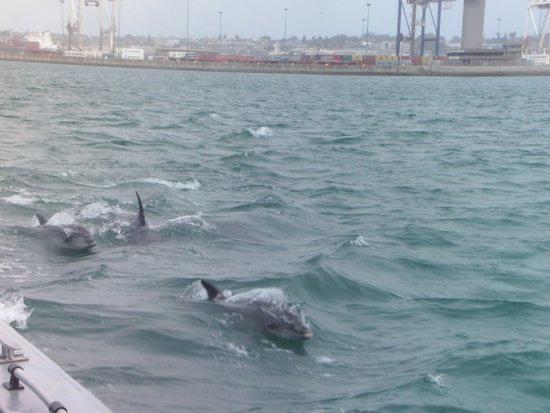 Port Elizabeth, South Africa: dolphins swimming alongside our boat