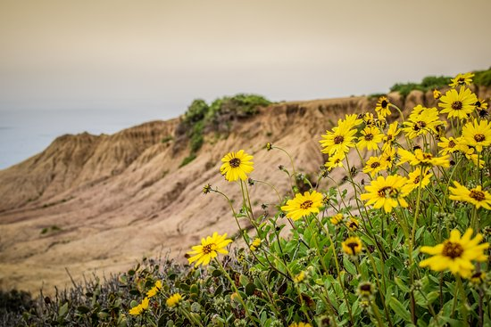 Sunset Cliffs Natural Park: sunset cliffs Blumen
