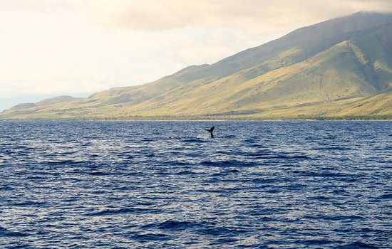 Maalaea, HI: Humpback Whales!
