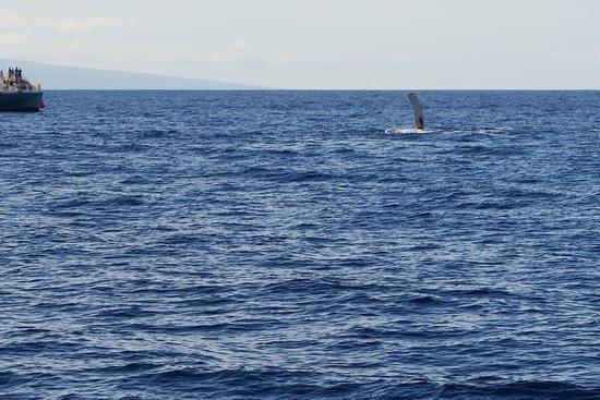 Maalaea, هاواي: Humpback Whales!