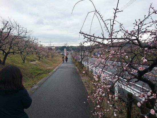 Chita, Japan: 街路樹としてしだれ梅が植えられている